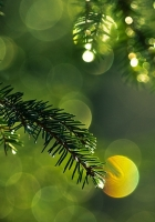 branch, spruce, thorn