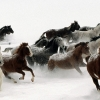 horse, herd, running