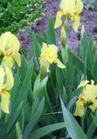 irises, flowers, yellow