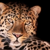 leopard, face, dark