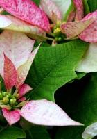 poinsettia, flower, pink