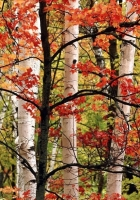 trees, birches, wood