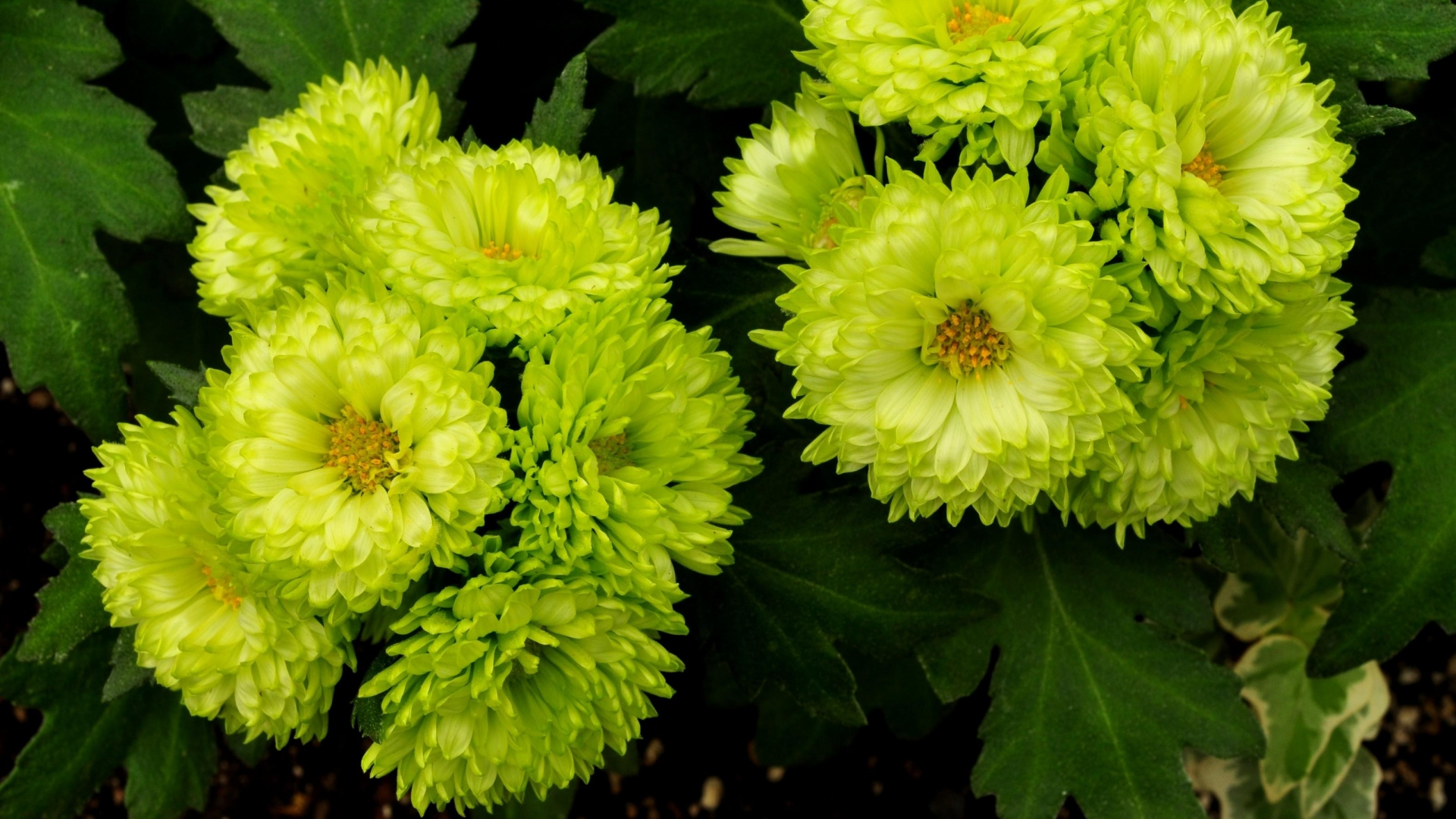 Get The Latest Asters Light Green Flower News Pictures And Videos Learn All About From Wallpapers4uorg Your Wallpaper