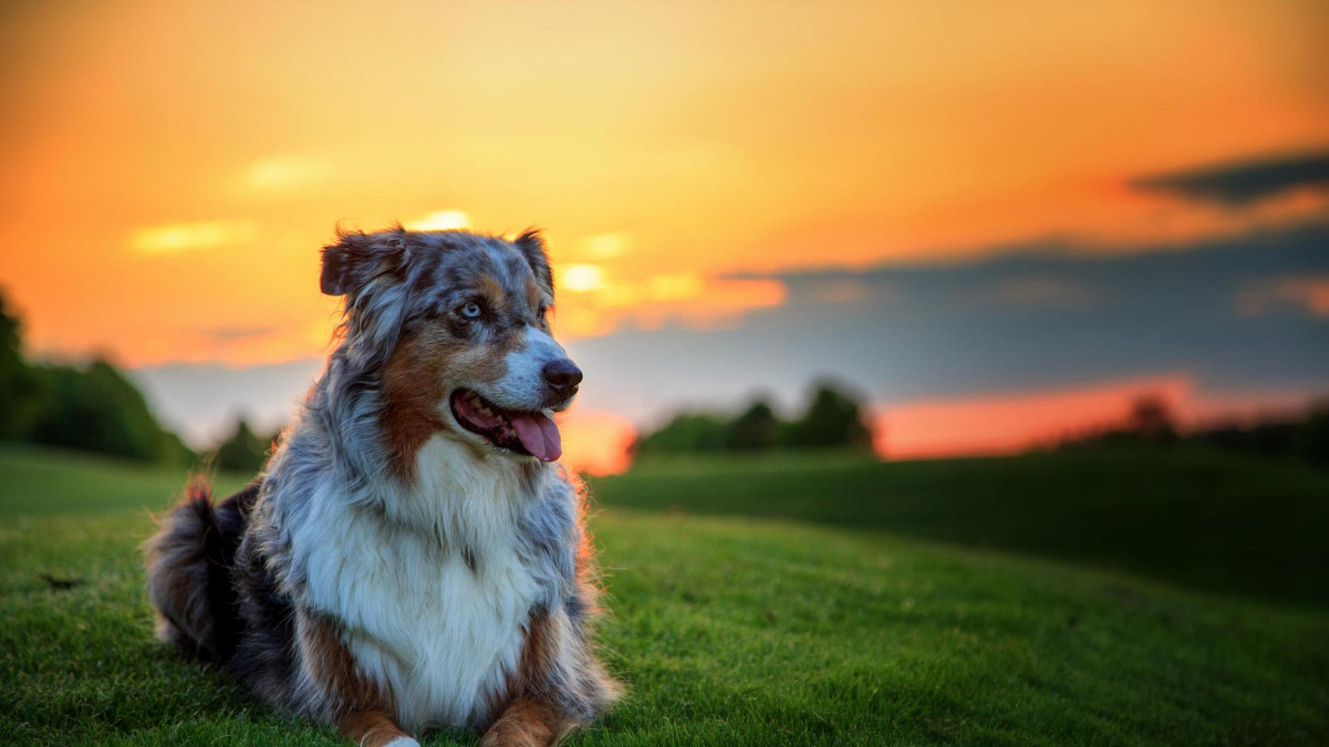 Great Wallpaper Horse Beach - australian_shepherd_dog_aussie_dog_grass_sunset_95327_1920x1080  Pictures_487425.jpg