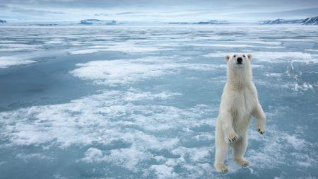 bear, animal, white