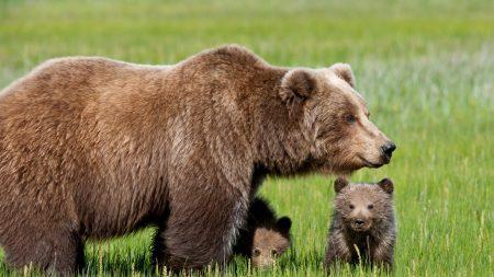 bear, cub, grass
