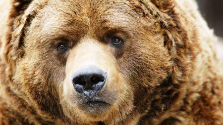 bear, muzzle, brown