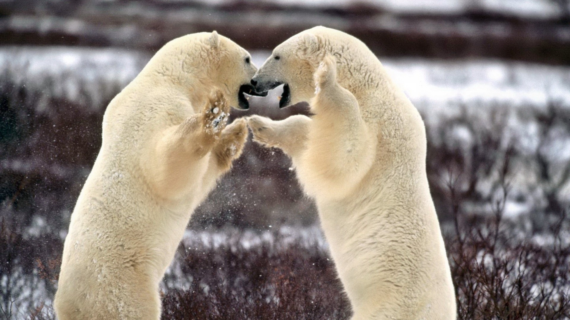 polar bear couple - photo #15