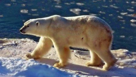 bear, polar bear, sea