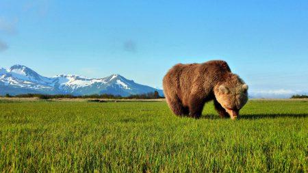 bear, walk, grass
