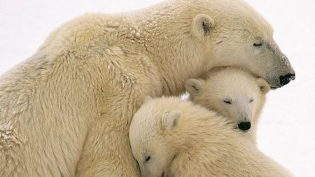 bear, white, cub