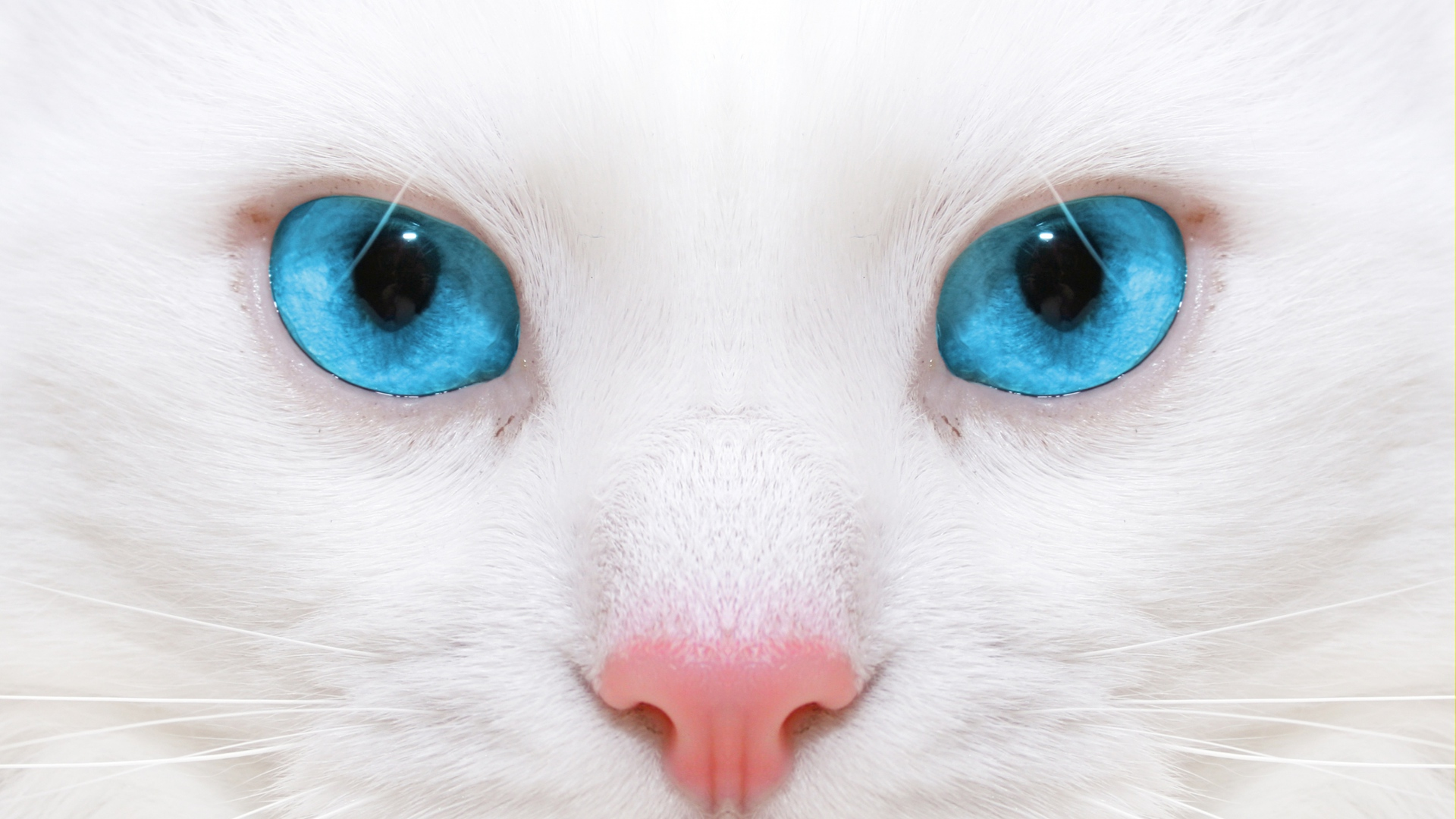 Get The Latest Beautiful White Cat Kitten News Pictures And Videos Learn All About From Wallpapers4uorg Your Wallpaper
