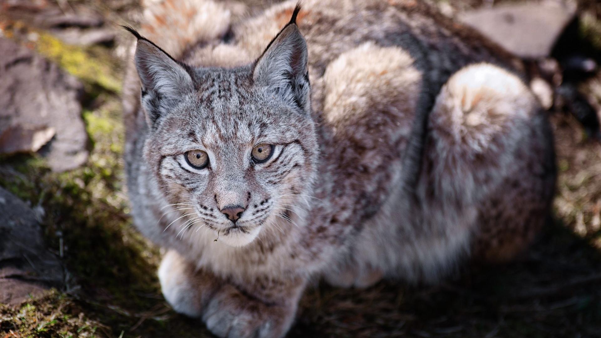 download wallpaper 1920x1080 big cat, predator, lie, lynx full hd