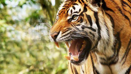 big cat, tiger, face