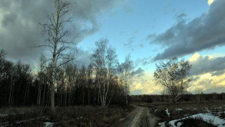 birches, spring, road