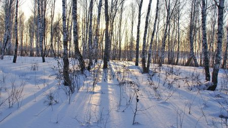birches, trunks, snowdrifts