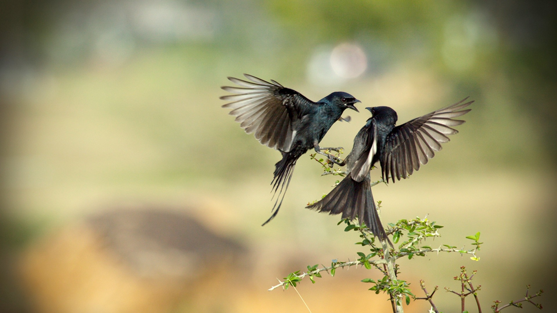 Download Wallpaper 1920x1080 birds flight fight branches Full