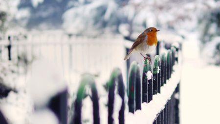 birds, snow, fence
