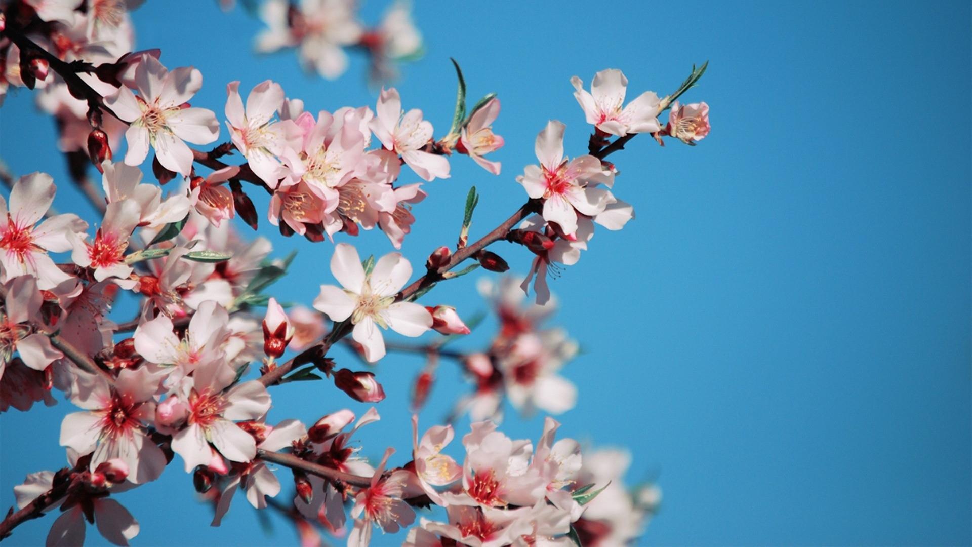 Download wallpaper 1920x1080 blossom flower pink bright blue blossom flower pink mightylinksfo