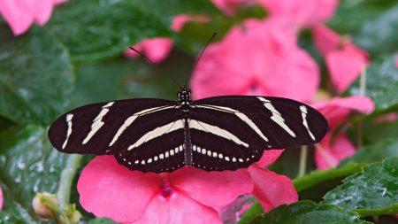 butterfly, wings, flight