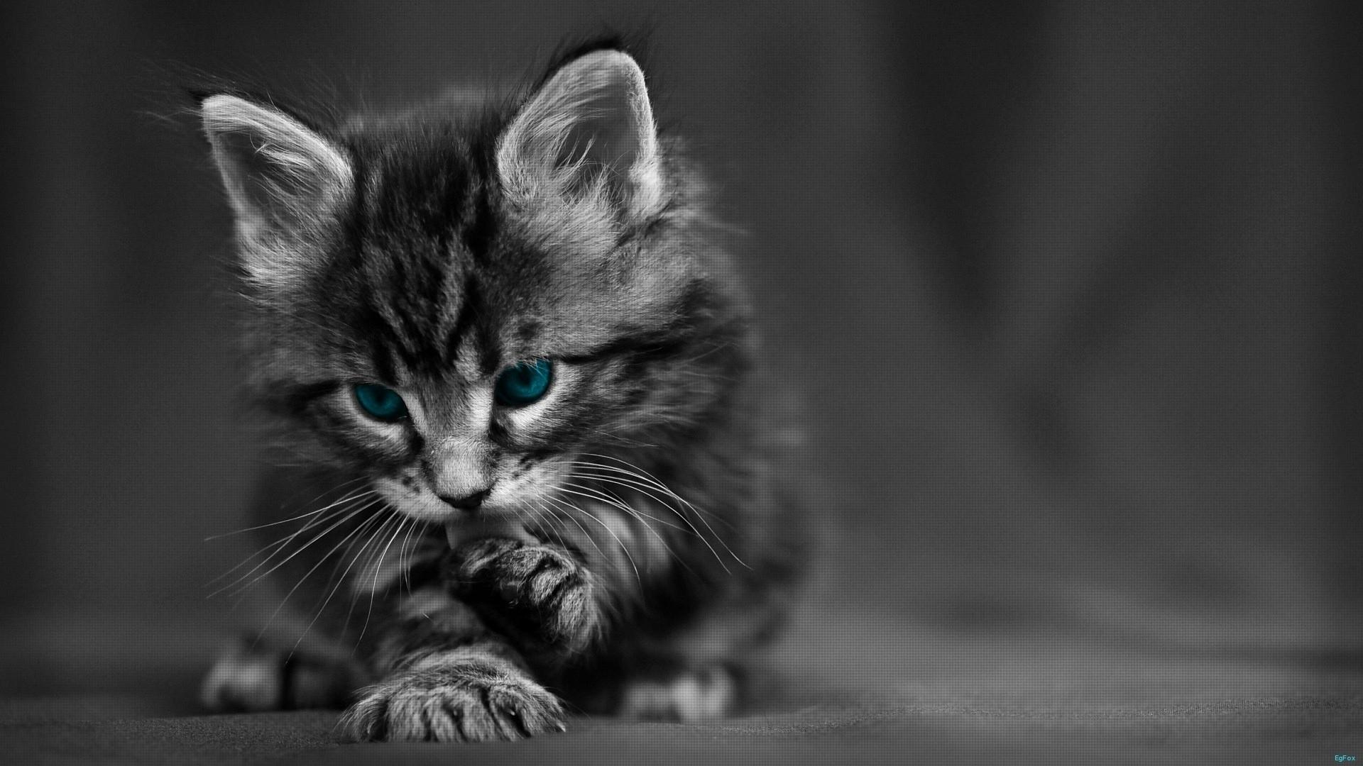 Cat Black White Blue