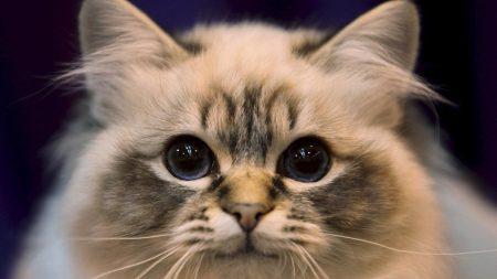 cat, eyes, fluffy