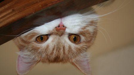 cat, face, lie
