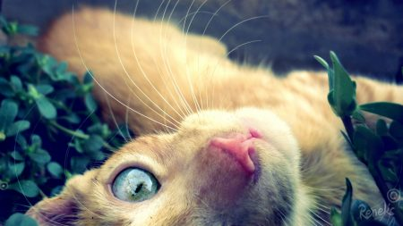 cat, face, red