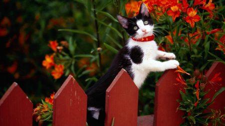 cat, fence, collar