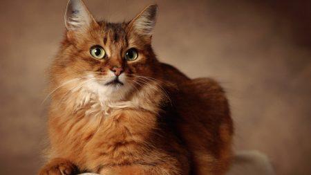 cat, fluffy lie, beautiful