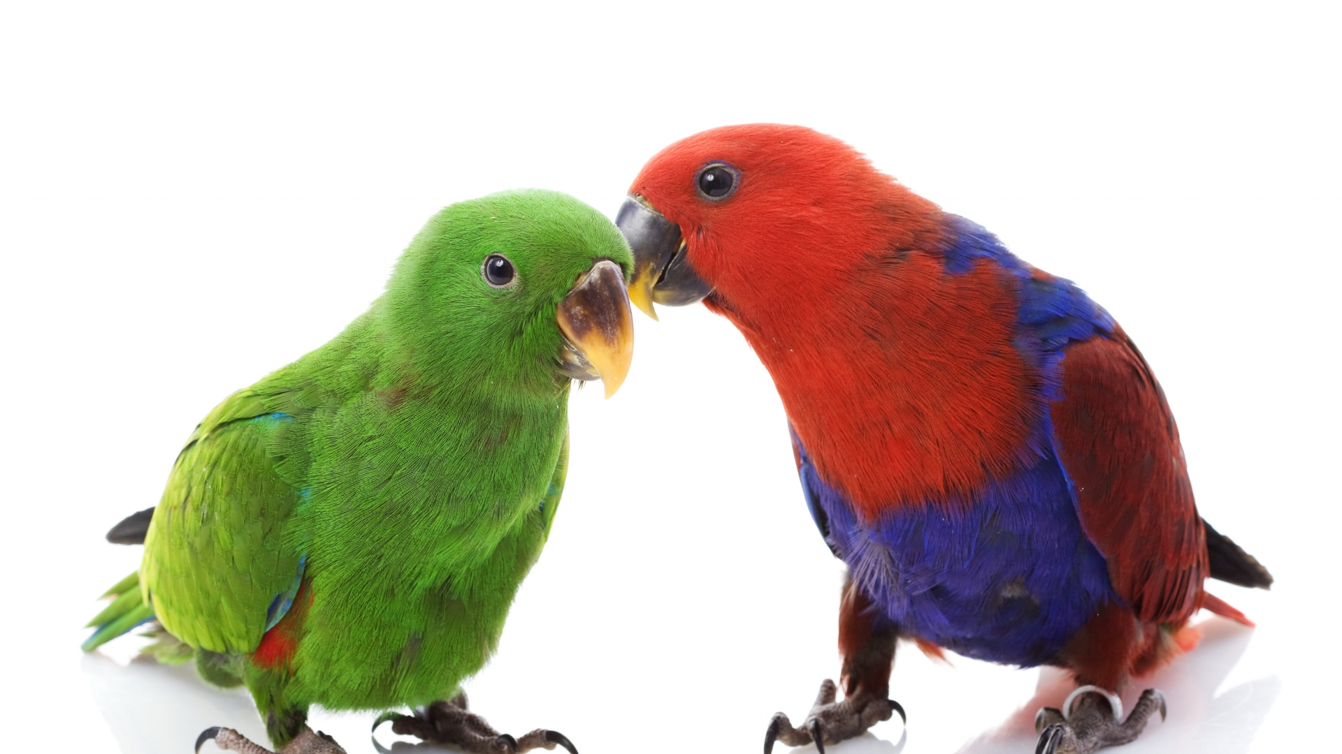 Great Wallpaper Love Parrot - couple_parrots_love_male_female_white_background_78590_1920x1080  Pictures_597049.jpg