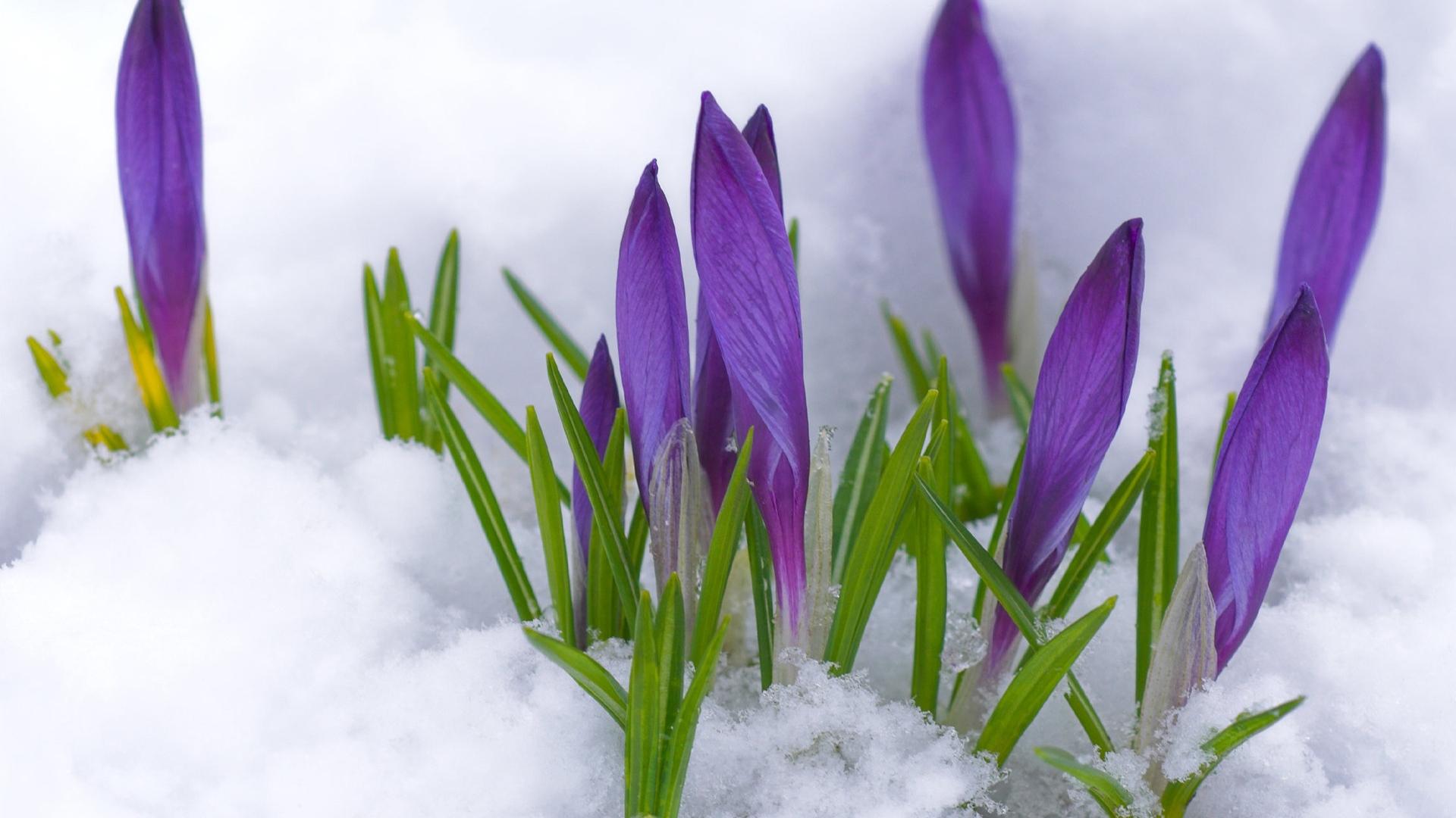 Download wallpaper 1920x1080 crocuses flowers snow leaves spring crocuses flowers snow mightylinksfo