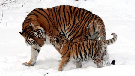 cub, tiger, tiger cub