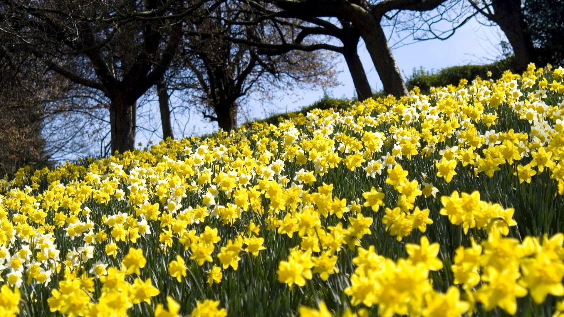 download wallpaper 1920x1080 daffodils, flowers, slope, trees
