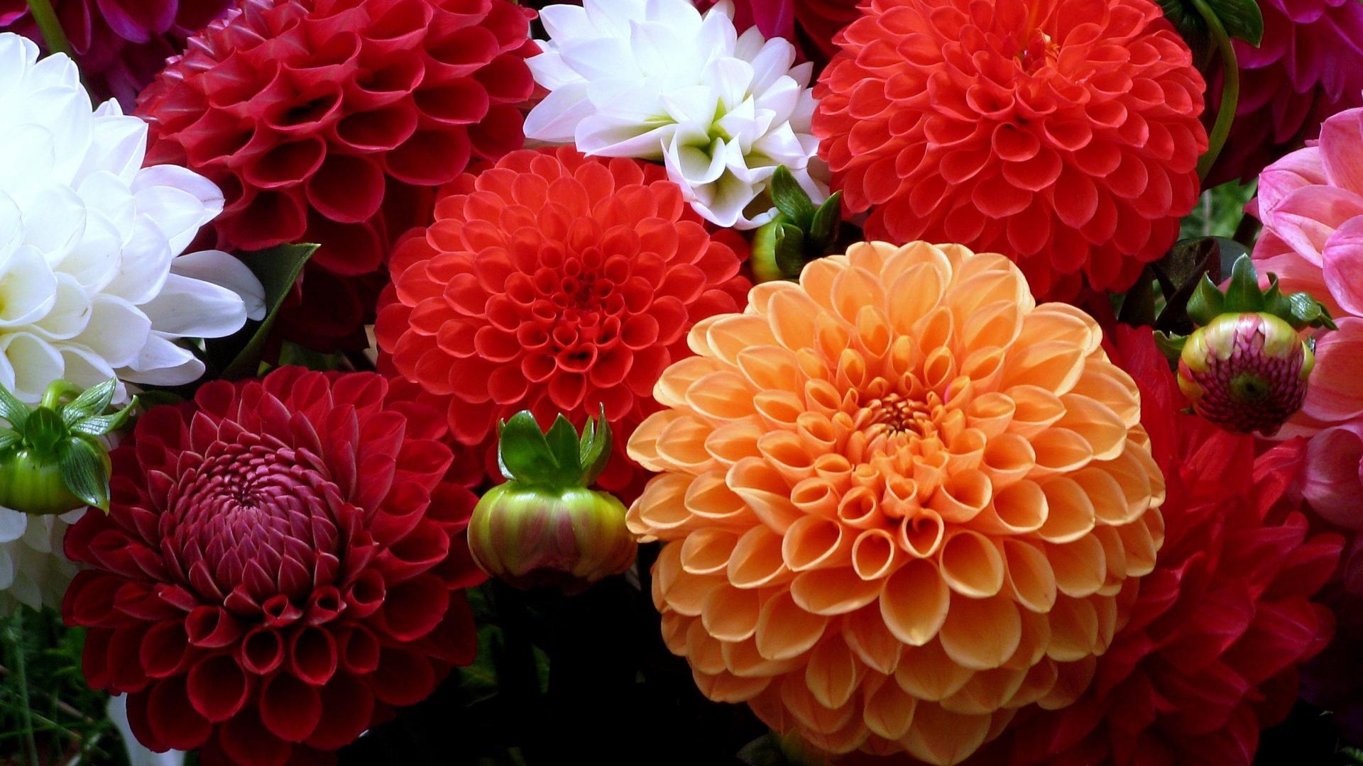 Download Wallpaper 1920x1080 dahlias, flowers, bouquet, bright ...