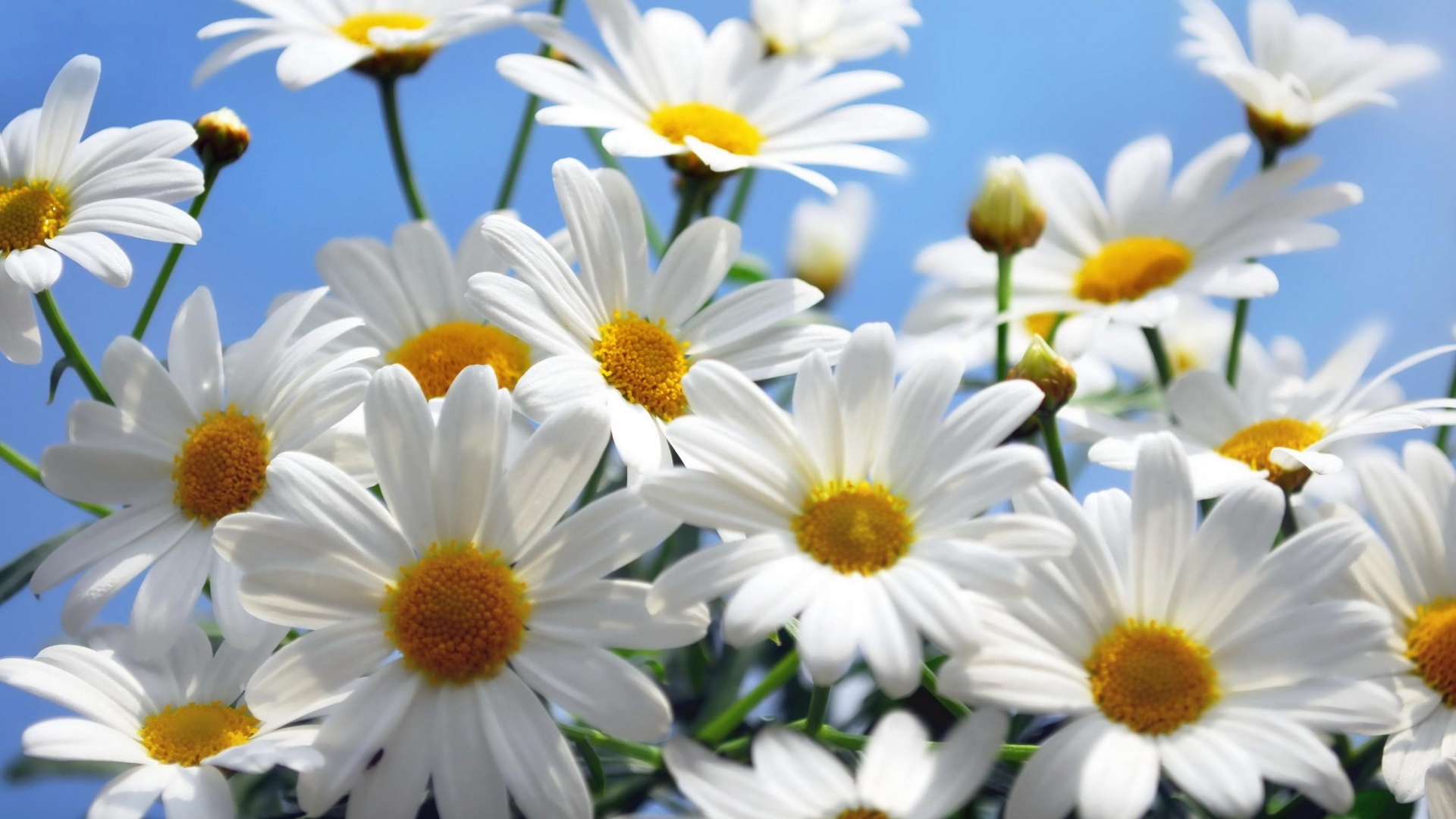 Download wallpaper 1920x1080 daisies flowers sky clouds summer daisies flowers sky izmirmasajfo Choice Image