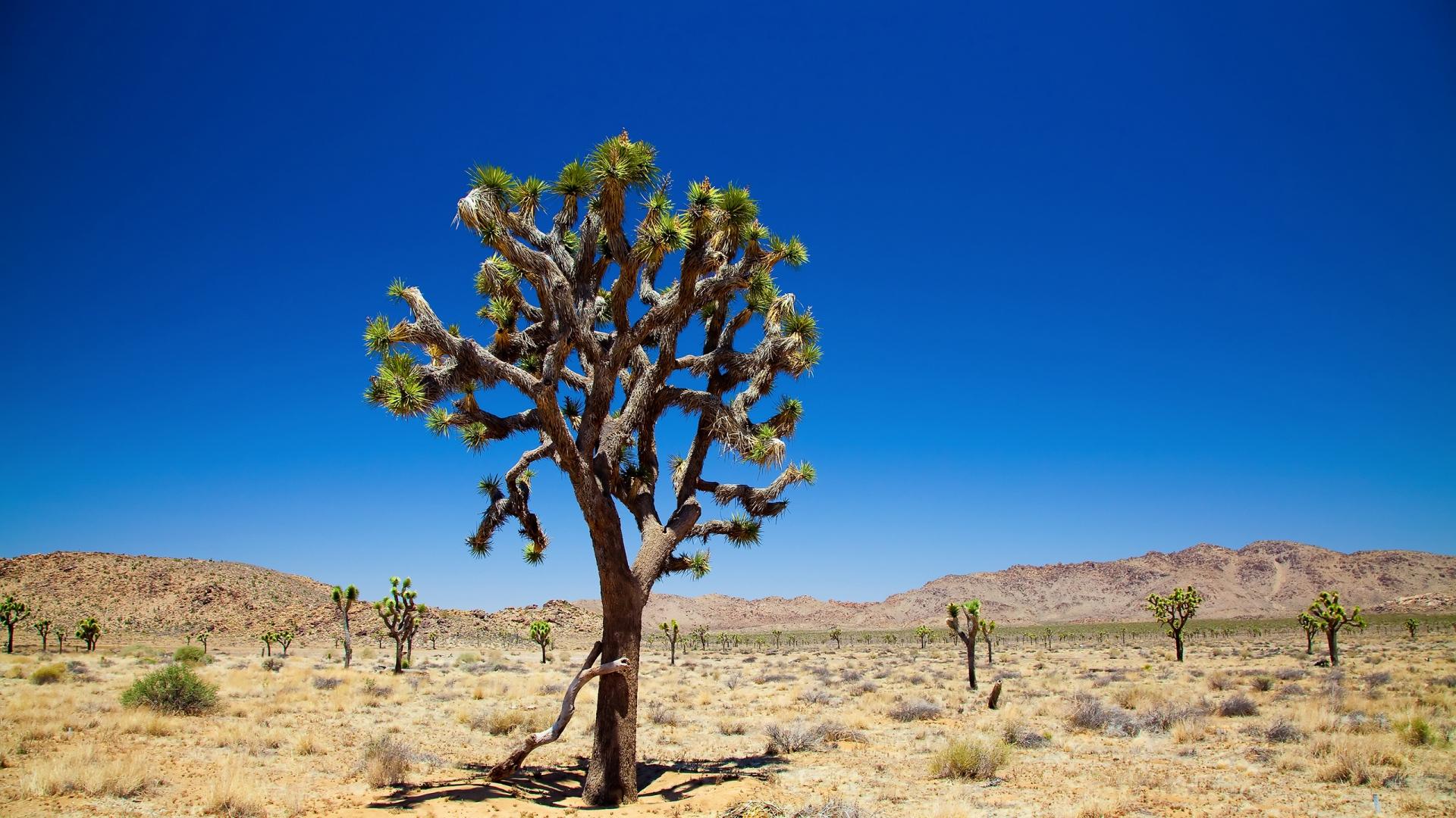 Download Wallpaper 1920x1080 desert, tree, vegetation Full ...