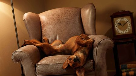 dog, chair, lie down