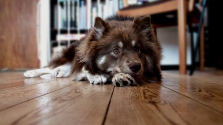 dog, face, floor