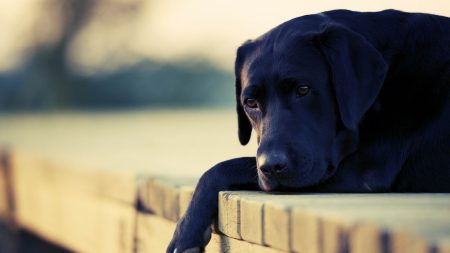dog, face, sad