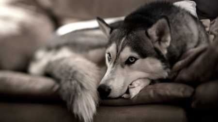 dog, husky, sofa