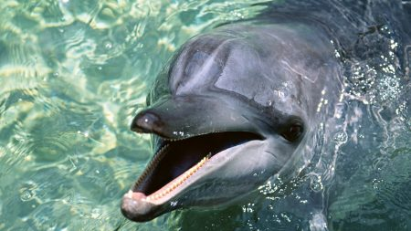 dolphin, water, face