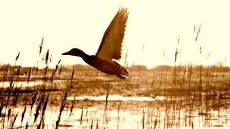 duck, lake, grass