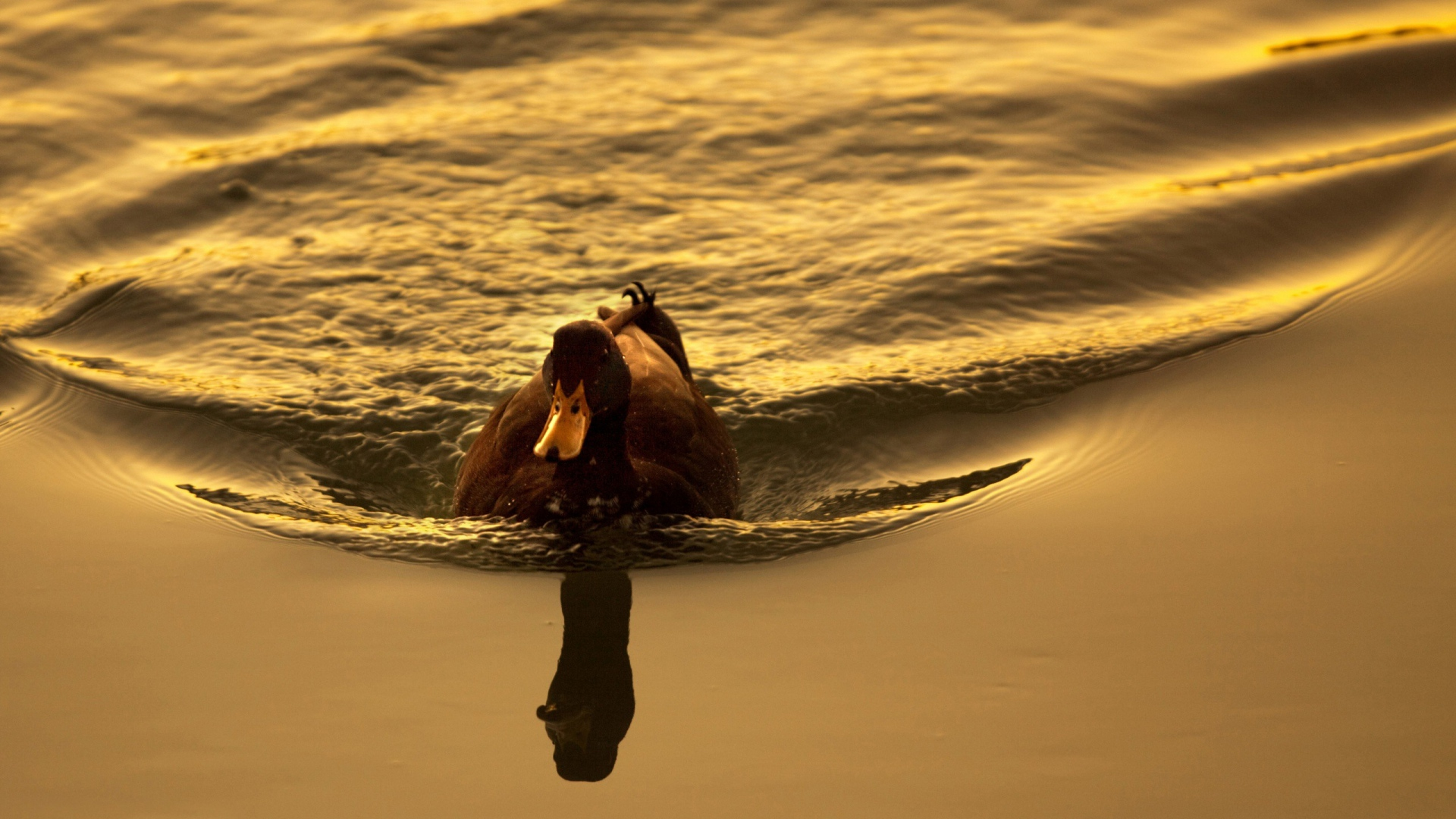 Download Wallpaper 1920x1080 duck, lake, swimming, sunset ...