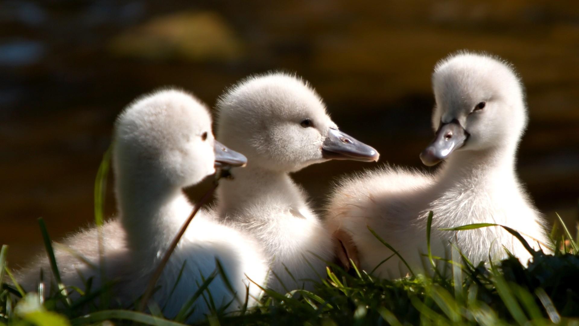 Download Wallpaper 1920x1080 ducks, flock, kids, beak, furry Full HD ...