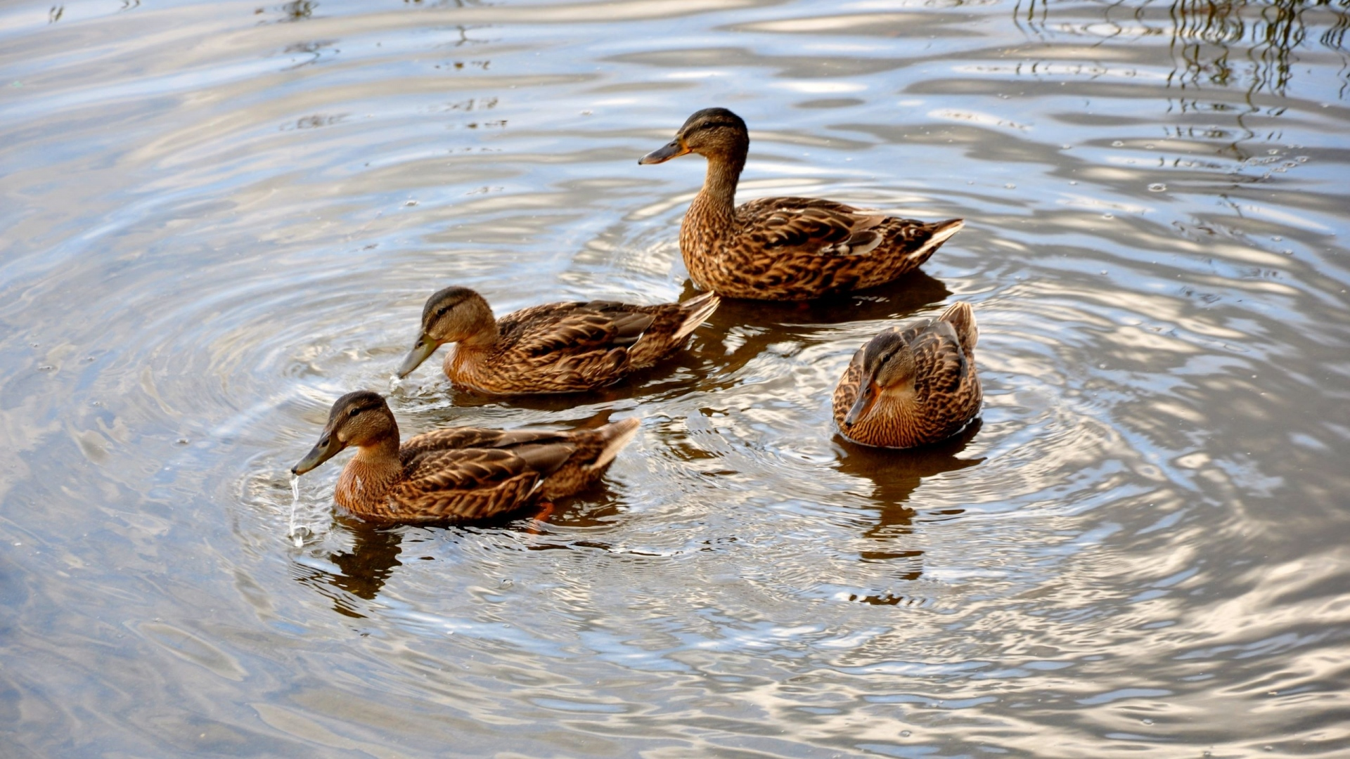Download Wallpaper 1920x1080 ducks, lake, swimming, family ...