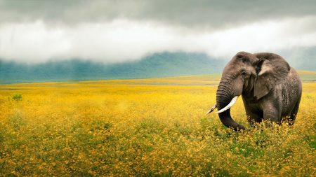 elephant, grass, field