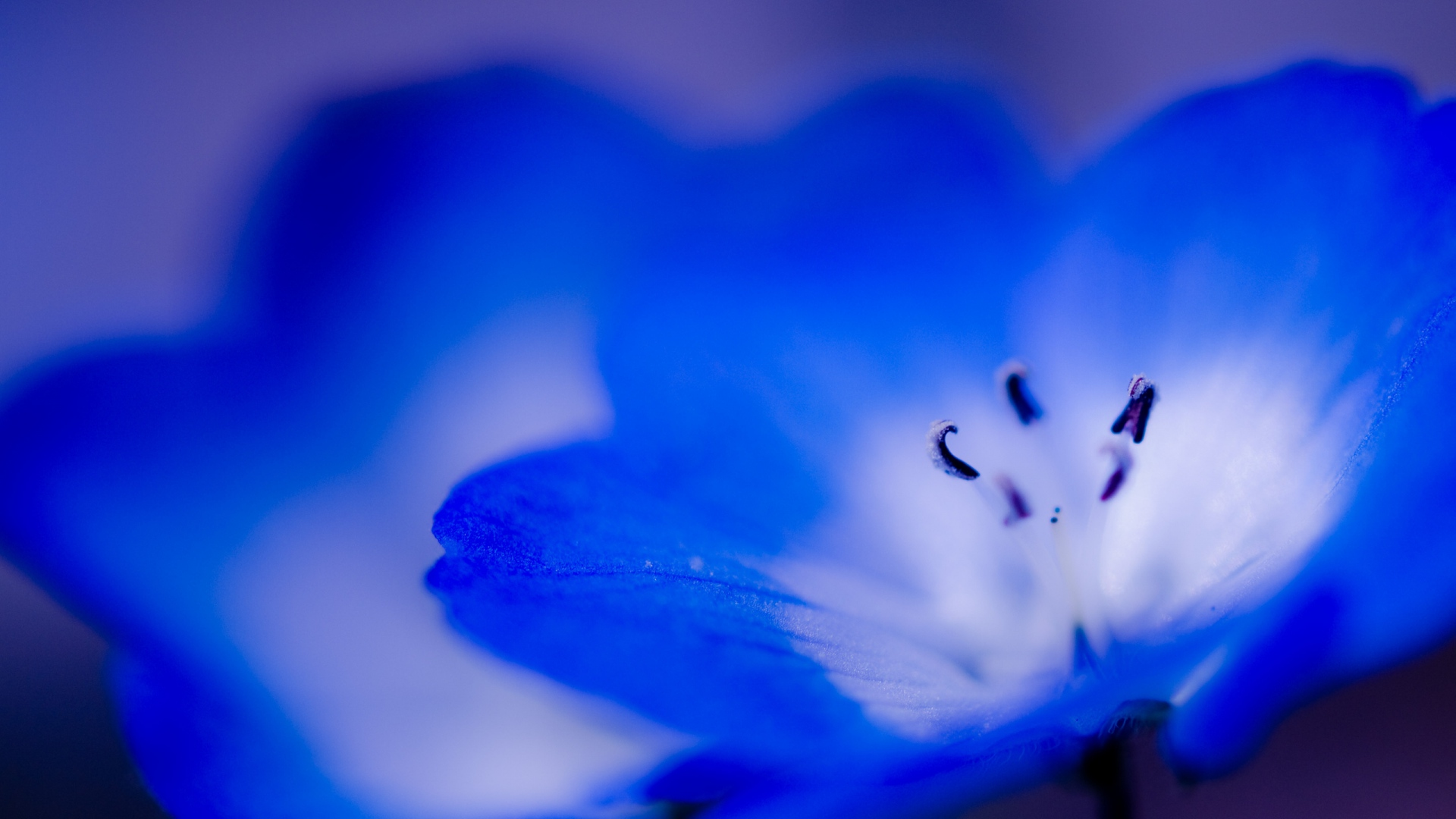 Download Wallpaper 1920x1080 Flower Blue Violet Small Close Up