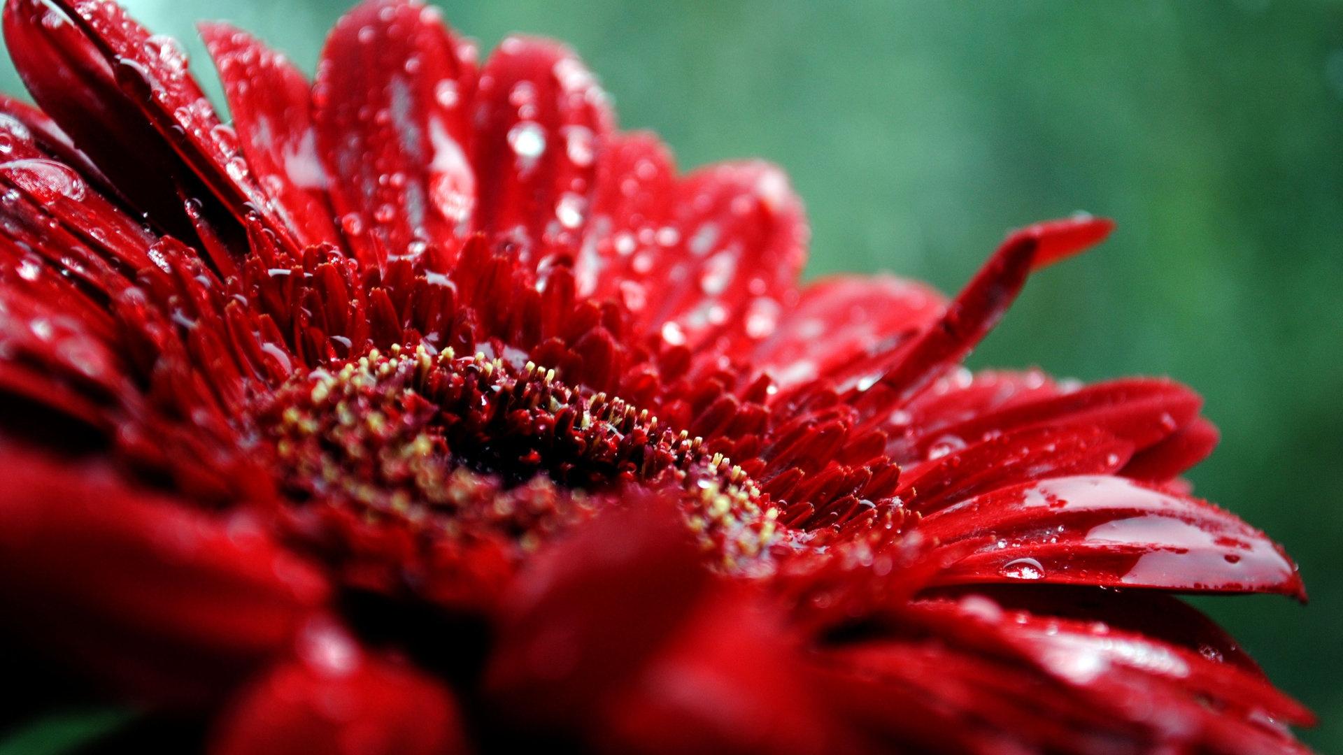 Flower Drop Moisture Red Dark 17716 1920x1080
