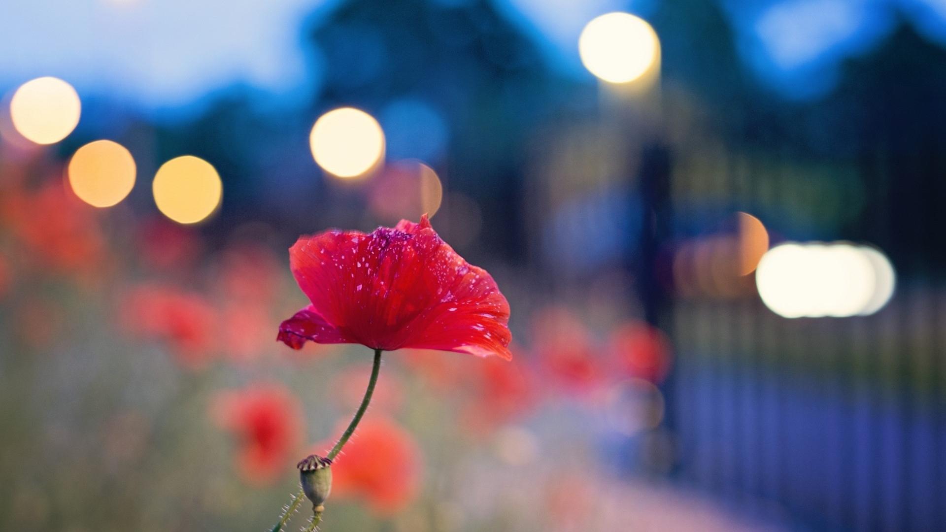download wallpaper 1920x1080 flower poppy seeds plant macro
